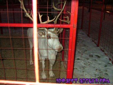 Boonville Reindeer